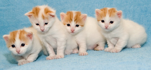 Turkish van kittens from Cesmes cattery - photo by Heikki Siltala, 2006